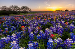 Texas wildflower -  bluebonnet and indian paintbrush filed in sunset Royalty Free Stock Photos