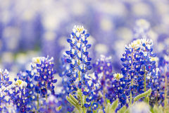 Texas wildflower - Closeup bluebonnets in spring. Stock Photography
