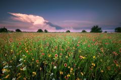 Texas Wildflower Field Under um céu de Gorgeus no por do sol imagem de stock