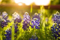 Texas Wildflowers Photographie stock libre de droits