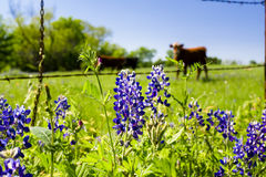 Texas Wildflowers Fotos de archivo libres de regalías
