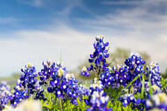 Texas Wildflowers fotografia de stock