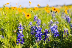 Texas Wildflowers imagem de stock royalty free