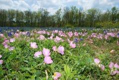 Texas Wildflowers. Field of wildflowers in Brenham, Texas stock photo