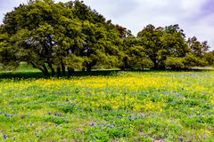 Texas Wildflowers amarelo com Bluebonnets foto de stock royalty free