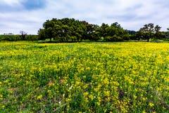 Texas Wildflowers amarelo com Bluebonnets imagem de stock