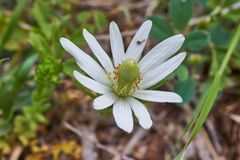Texas Wildflower, Anemone berlandieri, Tenpetal Anemone, Tenpetal Thimbleweed, Windflower, Southern Anemone, Granny`s stock images