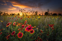 Texas Wildflowers au lever de soleil Photographie stock