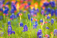 Texas Wildflowers Stock Images