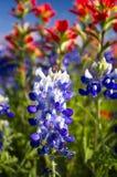 Texas Wildflowers royalty free stock photo