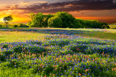 Texas Wildflowers Stock Photography