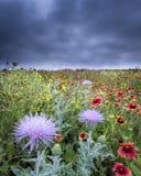 Texas Wildflowers Stock Image
