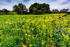 Texas Wildflowers jaune avec des Bluebonnets images stock