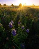 Texas Wildflowers no nascer do sol em um campo rural imagens de stock