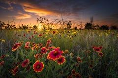 Texas Wildflowers på soluppgång Arkivbild
