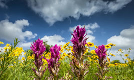 Texas Wildflowers Stock Photo