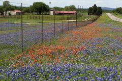 Texas Wildflowers su terreno coltivabile rurale Fotografia Stock