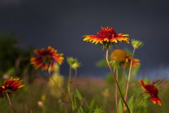 Texas Wildflowers Before uma tempestade do início da noite imagem de stock