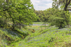 Texas Wildflowers on the Willow City Loop. Texas Hill Country wildflowers, bluebonnets and oak trees on the Willow City Loop Stock Images