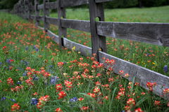 Texas wildflowers and wooden fence in Spring. A split rail wooden fence surrounded by bluebonnets and Indian paintbrushes Stock Images
