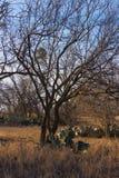 Texas Winter com carvalhos e cacto imagens de stock