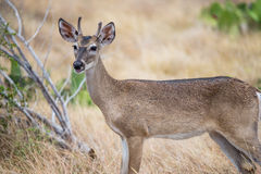 Texas Yearling Buck sul Foto de Stock Royalty Free