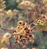 Texas Yellow Buds de morte fotografia de stock