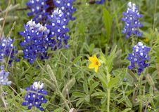 Texas Yellow Star Lindheimera texana, surrounded by Bluebonnets along the Bluebonnet Trail in Ennis, Texas. Pictured is a Texas Yellow Star, Lindheimera texana royalty free stock images