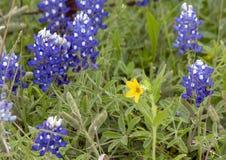 Texas Yellow Star Lindheimera-texana, umgeben durch Bluebonnets entlang der Bluebonnet-Spur in Ennis, Texas lizenzfreie stockbilder