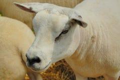 texel овец Стоковое Изображение