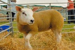 texel овец Стоковые Фотографии RF