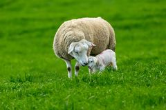 Lambing time, Texel Ewe with newborn lamb royalty free stock images