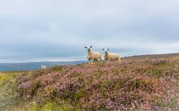 Texel Ewe and her lamb, Yorkshire, UK. Texel ewe stood with her lamb in flowering purple heather at Penhill, West Witton, near Leyburn, Yorkshire. UK. Both sheep royalty free stock photo