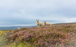 Texel Ewe i jej baranek, Yorkshire, UK zdjęcie royalty free