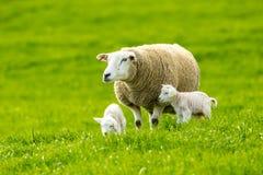 Texel Ewe with newborn lamb in lush green meadow royalty free stock photo