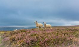 Texel Ewe and her lamb, Yorkshire, UK. Texel ewe stood with her lamb in flowering purple heather at Penhill, West Witton, near Leyburn, Yorkshire. UK. Both sheep stock image