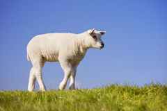 Texel lamb on the island of Texel, The Netherlands. A cute little Texel lamb in the grass on the island of Texel in The Netherlands on a sunny day Stock Image