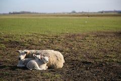 Texel Lamb Royalty Free Stock Images