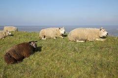 Texel lamm Royaltyfri Bild