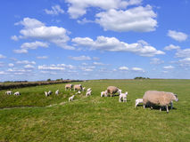 Texel Lammetjes. Landscape with sheep and lambs in a field on a hillside against a beautiful sky Royalty Free Stock Photos