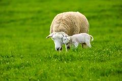 Texel-Mutterschaf mit neugeborenem Lamm auf dem üppigen grünen Gebiet lizenzfreie stockfotos