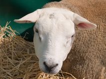 Texel-Schafe Stockbild