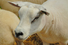 Texel Sheep. Ready for a show Stock Image