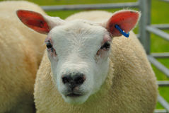 Texel Sheep. Ready for a show Royalty Free Stock Photography