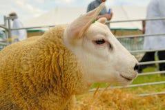 Texel Sheep. Ready for a show Stock Photos