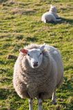 Texel sheep with lamb on grass field Stock Photo
