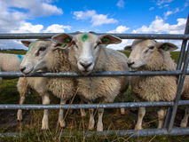 Texel sheep watching Royalty Free Stock Images