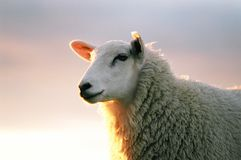 Texil Sheep. A close up head photo of a Texil sheep Stock Image