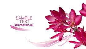 Texto rojo de la muestra de la flor del Frangipani aislado en el fondo blanco Imagenes de archivo