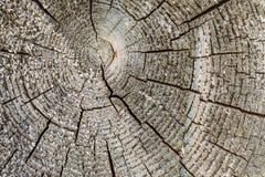 Textur åldrades det spruckna träträdavsnittet med cirklar, abstrakt bakgrund Fotografering för Bildbyråer